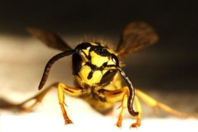 Yellow Jackets  Wasp or Bee?