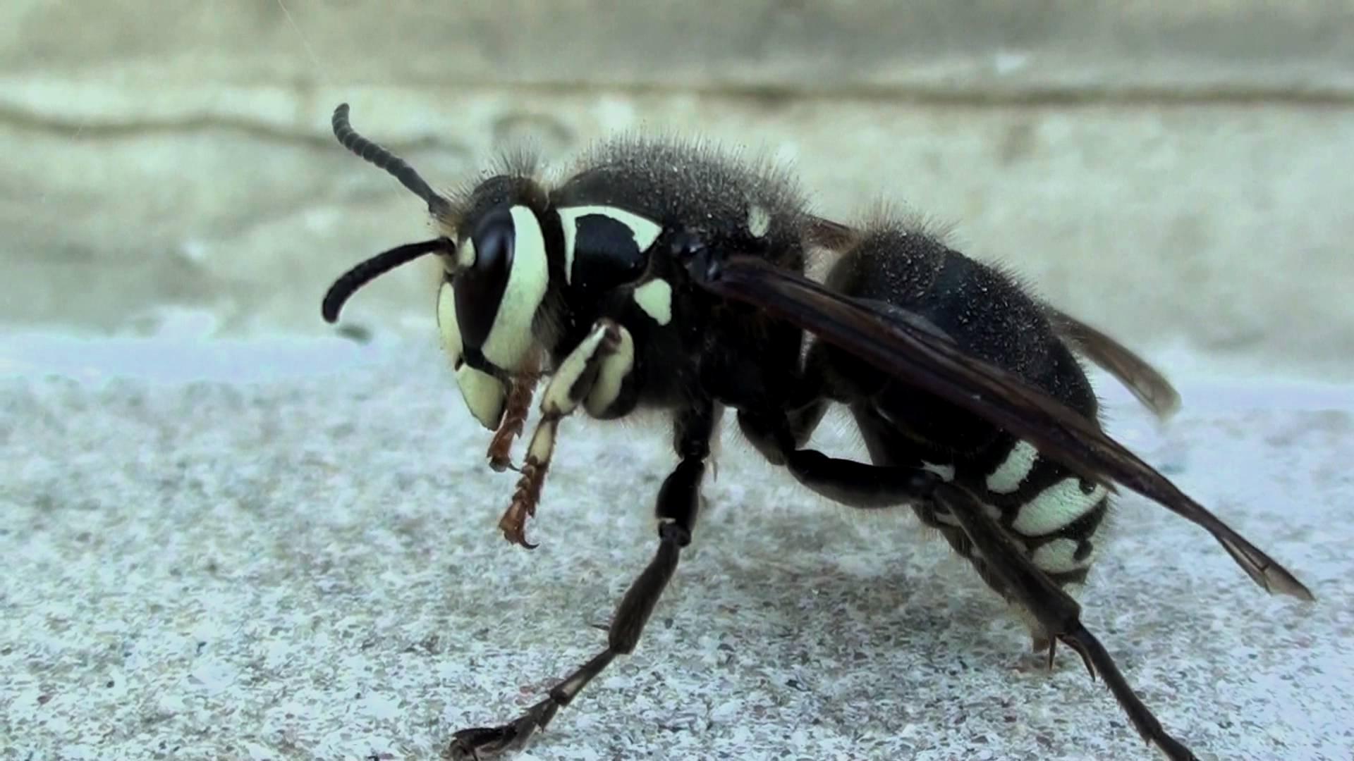 Bald Faced Hornet Close Up Shot  Japanese Giant Hornet Sting Wound    Japanese Giant Hornet Sting Wound