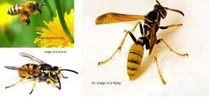 Difference Between Bees, Wasps and Hornets