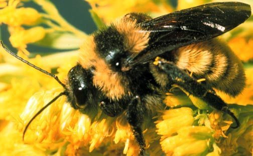 Yellow Jacket & Bald Faced Hornet Scientific Name – Do You Know It?