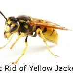 Get Rid of Yellow Jackets – Baits, Sprays & Traps Used For Yellow Jacket Removal