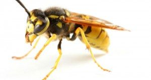 Get rid of Yellow Jackets