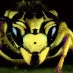 Yellow Jackets – Facts, Nests and Control Methods