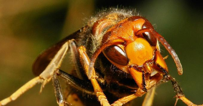 Asian Giant Hornet aka Vespa Mandarinia