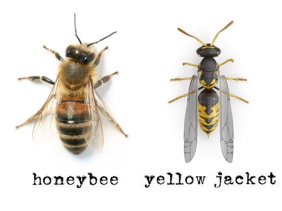 Honey bee & Yellow Jacket
