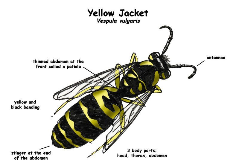 Yellow Jacket Identification notes with image