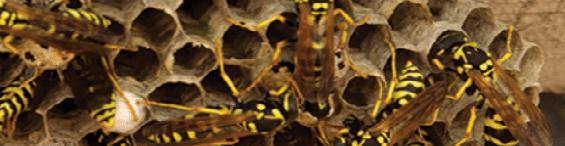 Yellow Jacket Nest