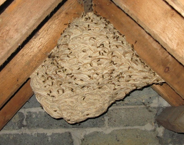 Yellow Jackets In Attic