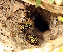 How To Get Rid Of Yellow Jackets In Attic?