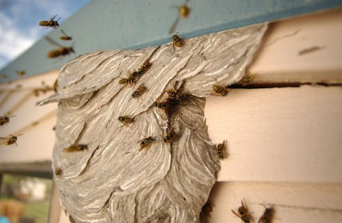 Know How To Get Rid Of Yellow Jackets On The Wall