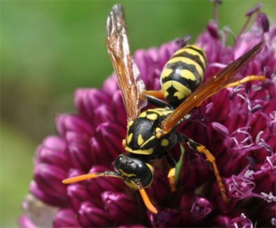 Aggression is Second Nature to Yellow Jackets