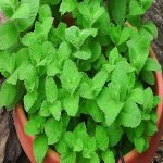 Mint plant on pot
