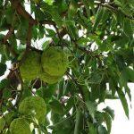 Osage Orange tree with fruits