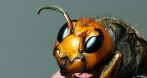 Japanese Giant Hornet Queen face