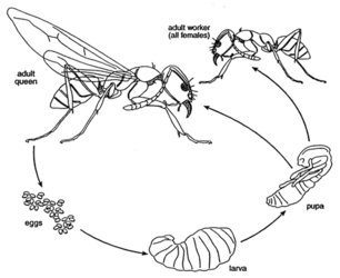 Yellow Jacket Wasp Life Cycle