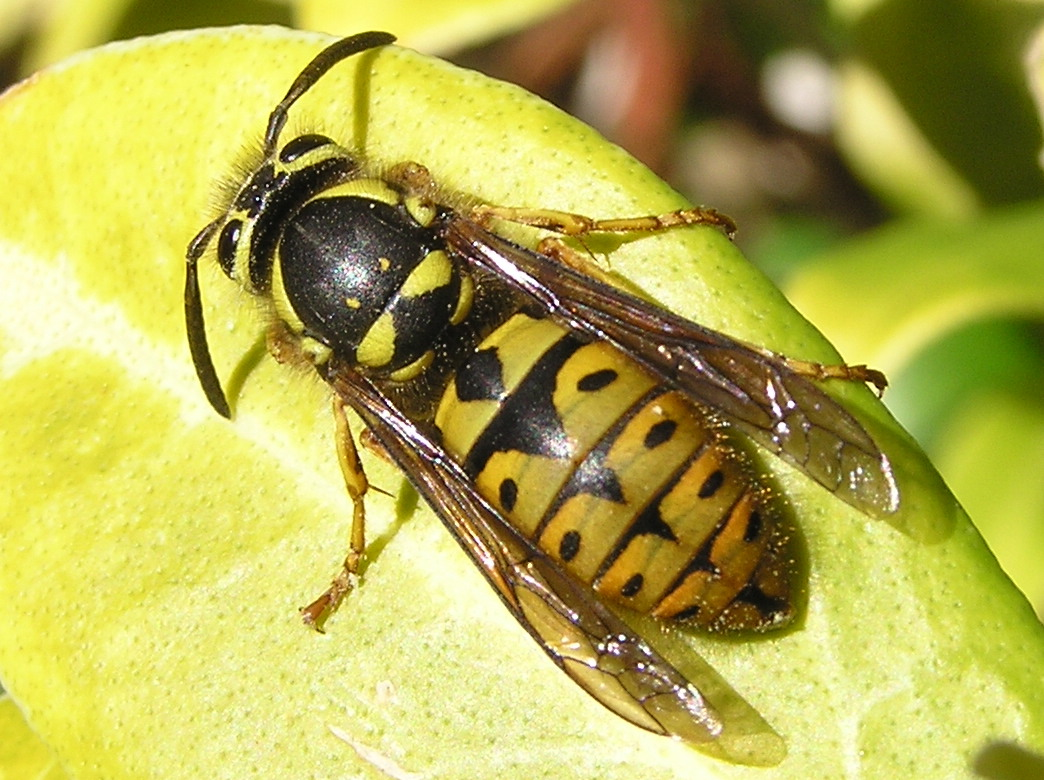 Western Yellow Jacket