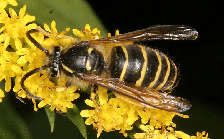 Yellow Jackets Insects