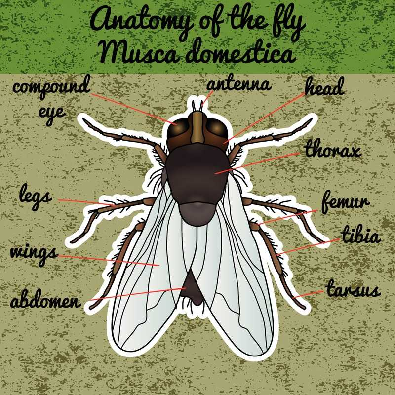 House fly Anatomy