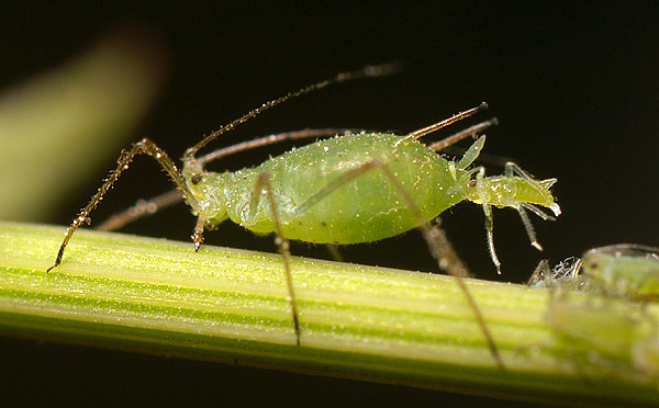 Aphid Control Facts & Considerations