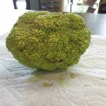HEDGE APPLE FRUIT