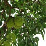 Osage Orange tree with fruits