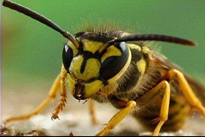 Do Yellow Jackets make honey?