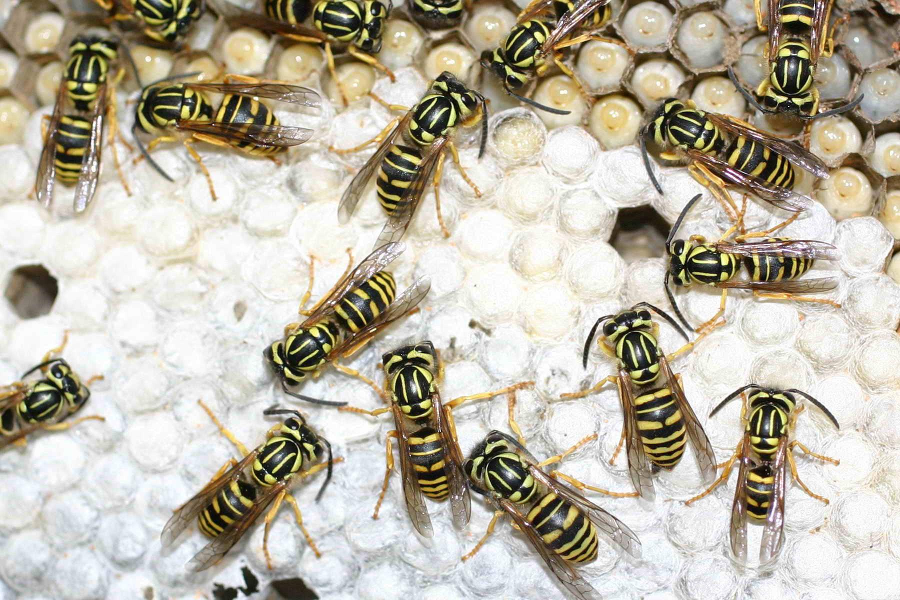 honey bees vs yellow jackets - HD1800×1200