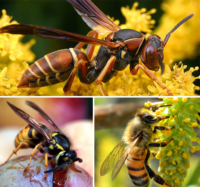 difference between bees wasps and hornets yellow jackets