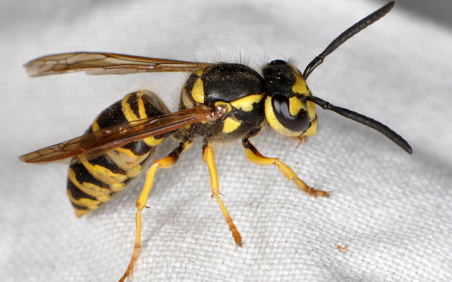 Types Of Bees Wasps And Hornets Yellow Jackets