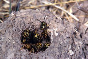 Natural Yellow Jacket Traps An Insight Yellow Jackets